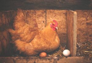l'œuf et la nutrition